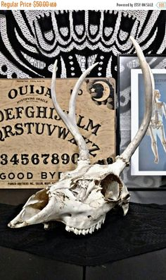 Check out this item in my Etsy shop https://www.etsy.com/listing/484927929/spooktacular-sale-deer-skull-antler