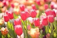 Thanksgiving Point's Annual Tulip Festival  April 13 - 28, 2012