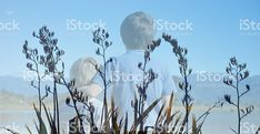 Harakeke (New Zealand Flax) Boys royalty-free stock photo New Zealand Flax, Boy Photos, Image Now, Fine Art Photography, Landscapes, Royalty Free Stock Photos, Boys, Nature, Style