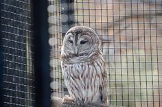 Captive Screech Owl at the Fort Worth Wildlife Preserve.