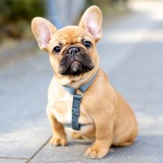 Theo, French Bulldog (9 w/o), Washington Square Park, New York,...//the dogist