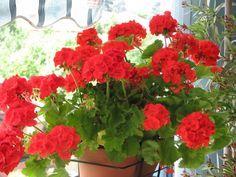 Gerânio | Algumas plantinhas já muito familiares nossas tem este efeito e podem ser adicionadas no seu jardim ou até em pequenos vasos nas janelas ou próximas às portas.