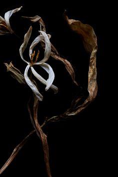 a different kind of tulip | STILL  (mary jo hoffman)