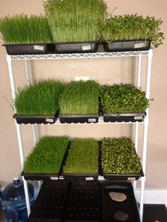 Growing Sprouts – How to Grow Microgreens Indoors – Growing microgreens indoors Growing Sprouts, Growing Microgreens, How To Grow Sprouts, Hydroponic Farming, Aquaponics System, Aquaponics Garden, Hydroponic Growing, Indoor Hydroponic Gardening, Diy Hydroponik
