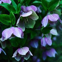 Lenten Rose: Perennial with attractive evergreen foliage. Blooms in late winter and early spring in colors ranging from cream to rich dusty rose, often with a hint of green. Superb plant for the shady garden.