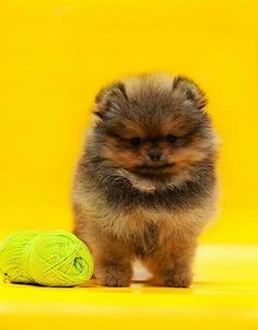 Blue and Tan Pom Puppy.