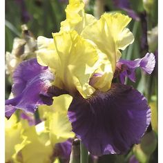In Jurassic Park Bearded Iris (Lb21853) at Lowes.com Outdoor Flowers, How To Attract Hummingbirds, Hardy Perennials, Water Wise, Bearded Iris, Jurassic Park, Cut Flowers, Image Shows, Beautiful Gardens