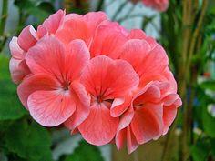 Todo con las flores: decorar, crear, degustar, cuidar...................: Nuestros queridos geranios