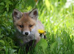 Red Fox Cub by Robert Oldekamp