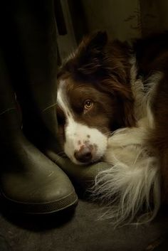 Border Collie ❤looks more like a springer spaniel----look at those beautiful eyes Beautiful Dogs, Animals Beautiful, Cute Animals, Lovely Eyes, Amazing Dogs, Australian Shepherds, West Highland Terrier, Brown Border Collie, I Love Dogs