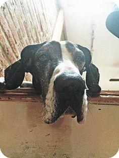 Baltimore, MD - Great Dane Mix. Meet Aquinas, a dog for adoption. http://www.adoptapet.com/pet/13922282-baltimore-maryland-great-dane-mix