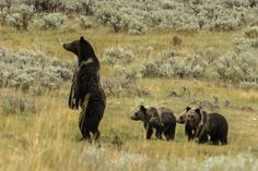 Mama Grizzli bear and her 3 cubs