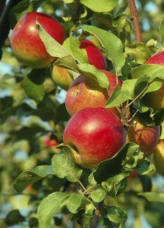 Snoei een appel- of perenboom in de winter.