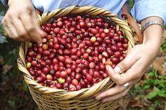 Kenya Coffee And Tea Tour   Easy Go Safaris