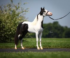 RESERVE WORLD CHAMPION & SUPREME HALTER HORSE Offered by Mini Horse Sales