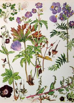 wild geranium, old botanical print via bitsbobsandbeats