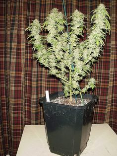 If you want to have a successful harvest, it is important to know how to grow weed in pots, especially if you are growing it outdoors.