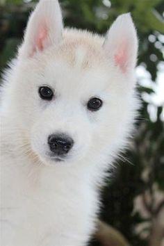 white Siberian Husky by gabriela