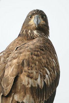Immature Bald Eagle   Endless Wildlife