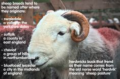 Been a while since our last #DidEweKnow fact! So here's another. Herdwicks: always the trendsetters. :p #herdy #herdwick #sheep #lakedistrict #factoftheday #facts
