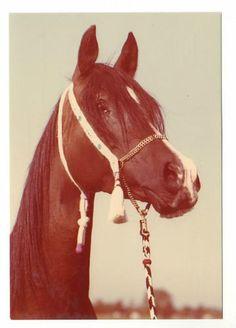 Schoene-alte-Pferdepostkarte-l-Braune-Araberstute-Orla-Sehr-guter-Zustand