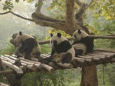 Go to Chengdu, China to hang out with the pandas