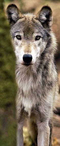 This wolf is stunning! look at the colors, those soulful eyes and beautiful expression. Love it