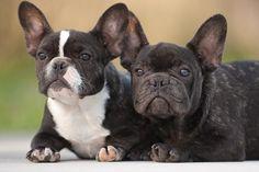 Siblings french bulldog puppies | Flickr - Photo Sharing!