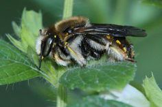 A wool carder bee showing off his fringe-bedecked legs. © Rusty Burlew.