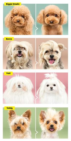 Photographer Grace Chon's new viral photo series captures dogs pre and post-grooming with absolutely adorable results! Dog Grooming Styles, Dog Grooming Shop, Dog Grooming Salons, Dog Grooming Business, Poodle Haircut, Japanese Dogs, Training Your Dog, Pet Dogs, Photo Series