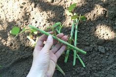 Každý řízek růže by měl mít alespoň 5 oček. Asparagus, Green Beans, Studs