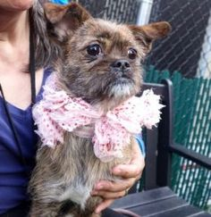 Safe ❣ JOY aka BEEPER – A1100968  **RETURNED 04/25/2017**  SPAYED FEMALE, BR BRINDLE / WHITE, SHIH TZU / CHIHUAHUA SH, 1 yr, 3 mos RETURN – ONHOLDHERE, HOLD FOR EVENT Reason ALLERGIES Intake condition EXAM REQ Intake Date 04/25/2017, From NY 10466, DueOut Date 04/25/2017,