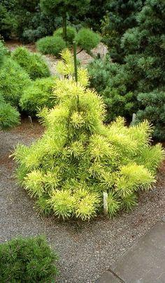 Pinus sylvestris Varguld