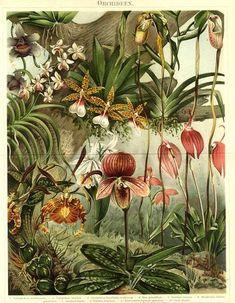 ORCHID,ORCHIDEEN,1894 Original Antique Chromolithograph: