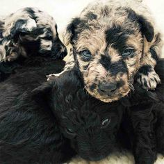 These little ones are Mudis, a rare Hungarian herding breed. Read more at http://www.reshareworthy.com/33-dogs-with-unique-coats/#OrLBaVVmbQakwIZg.99