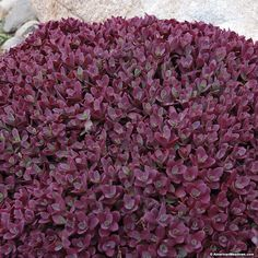 Add a blanket of color with Firecracker Sedum PPAF as a ground cover to any rock garden, slope, patio or container.  Its cherry red foliage intensifies throughout the season and never fades.  Its as great way to control weeds because of its dense well branched shape and high bud counts.  Plant firecracker in full sun and enjoy its pink blooms in summer to late fall.  (Sedum)