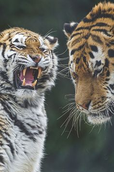 visualechoess:Tiger argument - by: Tambako The Jaguar