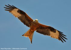 Le milan royal, un rapace qui facine. All Nature, Science And Nature, Milan Vogel, La Migration, Parks In Sydney, Animals And Pets, Cute Animals, Red Kite, Peregrine Falcon