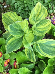 Hosta Galaxy  Hosta Allan C Haskell  Hosta Brave Attempt  Hosta Christmas Tree Gala  Foliage, Hosta Gardens, Plants, Garden Gifts, Hostas, Seeds, Plant Leaves, Country Gardening, Garden