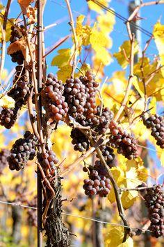 Pinot Gris Vendanges Tardives - Photo Didierjean / VinsAlsace.com