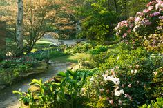 RHS Garden Harlow Carr - Path near the Old Bath House with Rhododendrons in the foreground in spring.