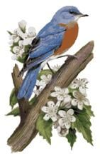 Missouri designated the lovely eastern bluebird (Sialia sialis) as the official state bird in 1927. The bluebird's song is a rich warbling whistle broken into short phrases (Tu-wheet-tudu) or a dry ch