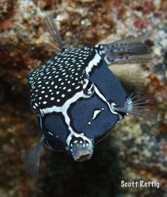 Whitley's Boxfish (Ostracion whitleyi). Male Underwater Creatures, Underwater Life, Ocean Creatures, Beautiful Tropical Fish, Beautiful Fish, Saltwater Aquarium, Aquarium Fish, Saltwater Tank, Beautiful Sea Creatures