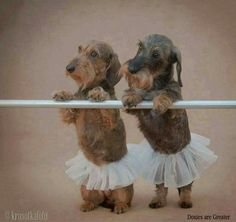 Dachshunds in tutus.