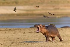 Get off my back! Photo by Marc MOL -- National Geographic Your Shot