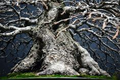 Amazing ramification and a massive trunk, make spectacular Bonsai