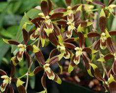 Odontoglossum cruentum 0466 | Steve Beckendorf | Flickr