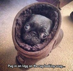 pug in an ugh boot