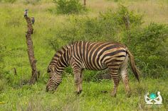 My Kruger National Park Experience http://positiveworldtravel.com/my-kruger-national-park-safari-experience