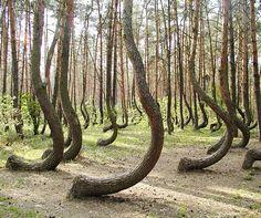 La Forêt Crooked, en Pologne
